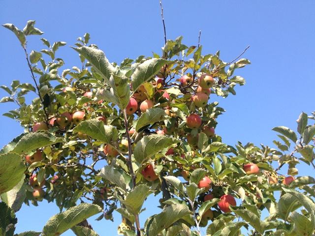 芽室町北明西七線17-2外観リンゴの樹2